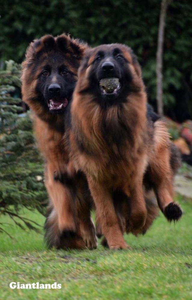 Giantlands Long Haired Germans Shepherd Dogs